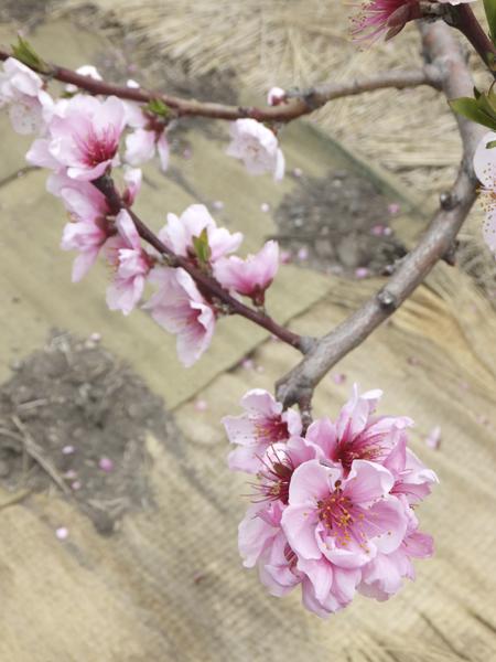 桃の花 2012.4.16