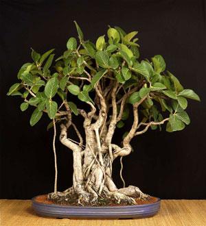 ベンガル菩提樹