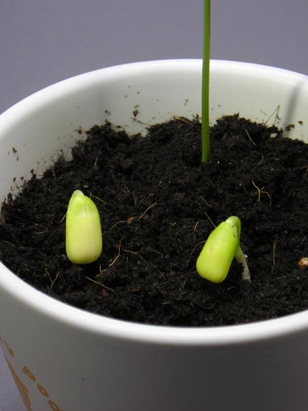 再び、モンキーポッドの種を蒔く